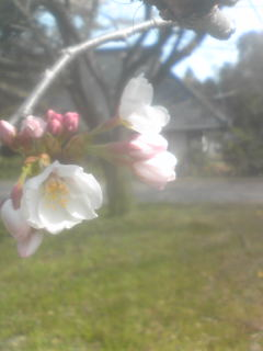 やっと桜咲く